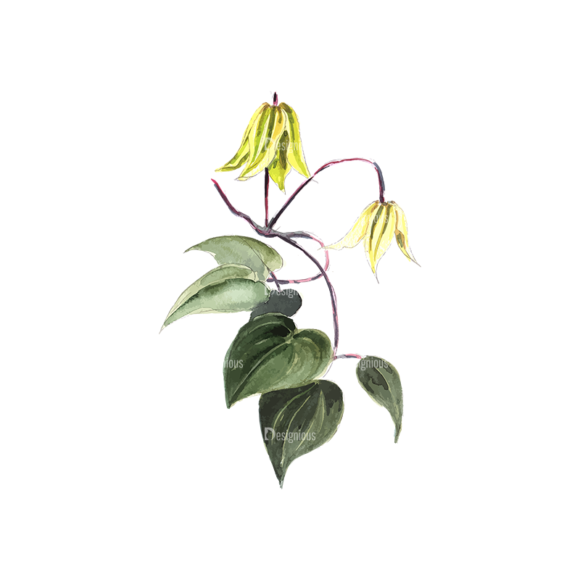 Flower Clematis Yellow 1